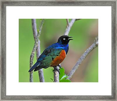 Superb Starling Framed Print by Tony Beck
