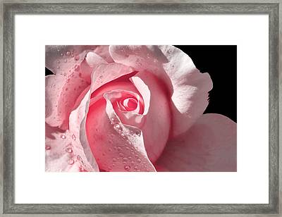 Supple Pink Rose Dipped In Dew Framed Print by Tracie Kaska