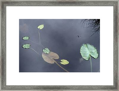 Surface Of A Lily Pond In Alaska Framed Print by Stephen Sharnoff