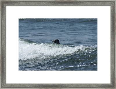 Surfing Seal Framed Print by Jerry Cahill
