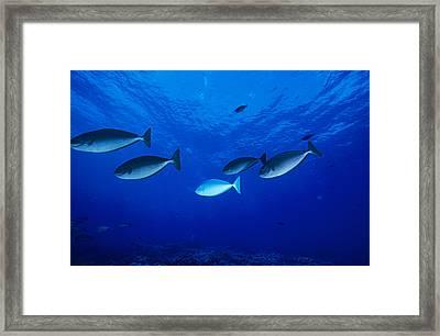 Surgeonfish Framed Print by Alexis Rosenfeld