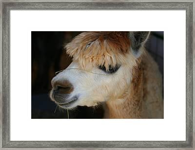 Suri Alpaca Number 5 Framed Print by Paula Tohline Calhoun