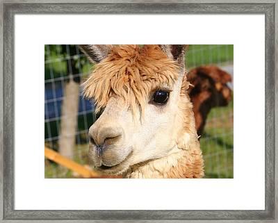 Suri Alpaca Number 8 Framed Print by Paula Tohline Calhoun