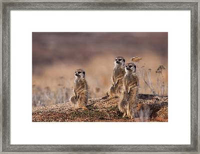 Suricate Family Framed Print by Hein Welman