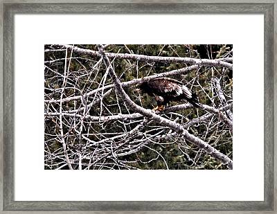 Suspicious Golden Eagle Framed Print by Don Mann