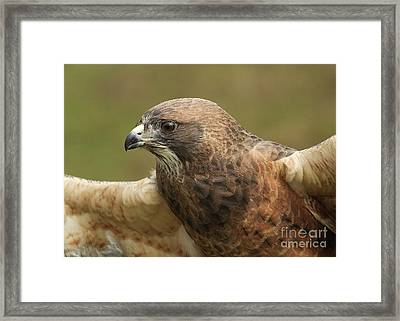 Framed Print featuring the photograph Swainson's Hawk by Doug Herr