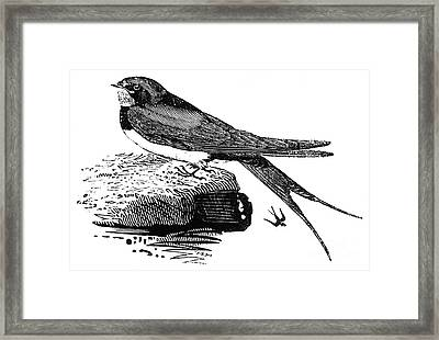 Swallow, C1800 Framed Print by Granger