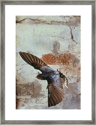 Swallow In Flight Framed Print by Andy Harmer