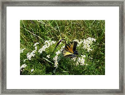 Swallow Tail  Framed Print by Skip Willits