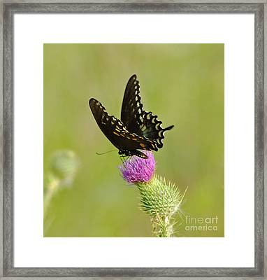 Swallowtail At Work Framed Print by Ginger Harris