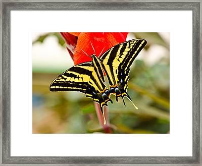 Swallowtail Butterfly Framed Print by Chris Thaxter