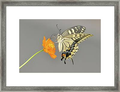Swallowtail Butterfly On Cosmos Flower Framed Print by Etiopix