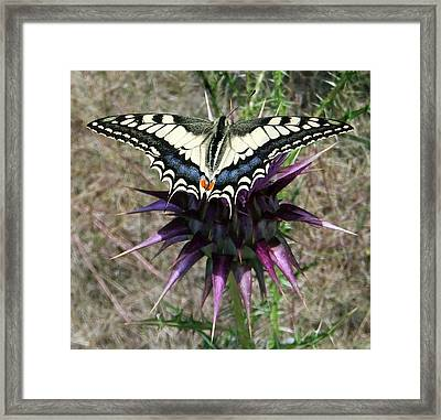 Swallowtail Framed Print by Eric Kempson