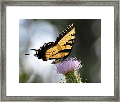 Swallowtail Framed Print by Marty Koch