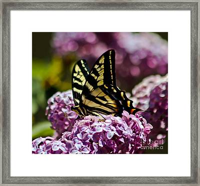 Swallowtail On Lilac 2 Framed Print by Mitch Shindelbower