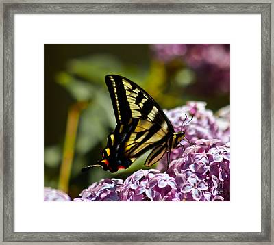 Swallowtail On Lilac Framed Print by Mitch Shindelbower