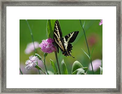 Swallowtail On Pink Framed Print