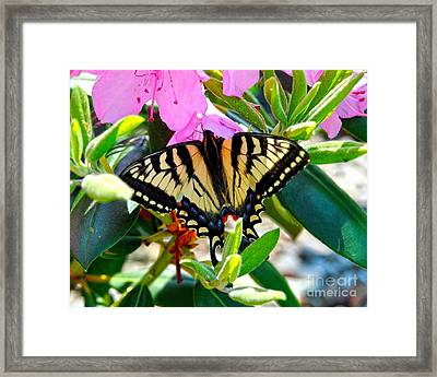 Swallowtail Spring Framed Print by Diane E Berry