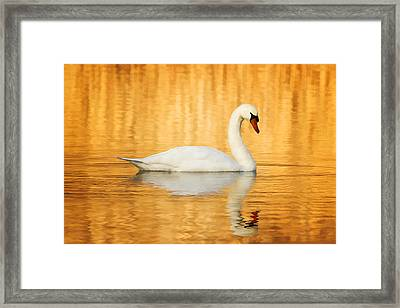 Swam Swimming In Water Framed Print by Jody Trappe Photography