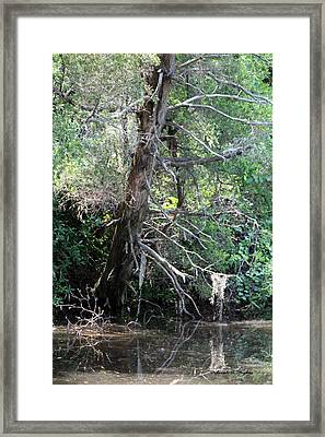 Swamp Tree Framed Print