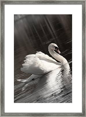 Swan 2 Framed Print by Nan Schefcick