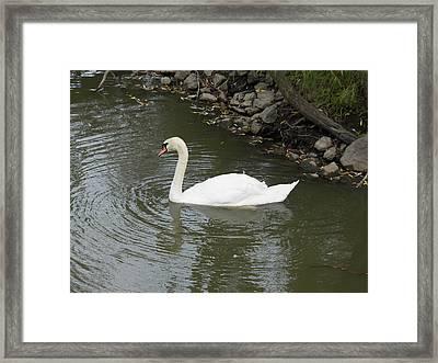 Swan Along The Shoreline Framed Print by Corinne Elizabeth Cowherd