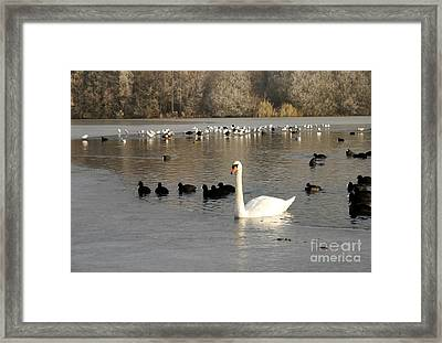 Swan And Ice Framed Print by John Chatterley