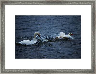 Framed Print featuring the photograph Swan Attack by Brian Stevens