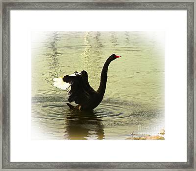 Swan Dance 3 Framed Print by Blair Stuart