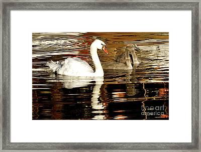 Swan Family In Evening Framed Print