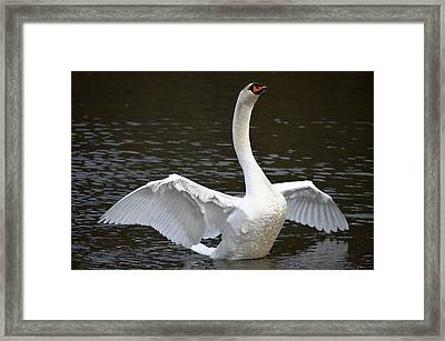 Framed Print featuring the photograph Swan Hugs by Brian Stevens
