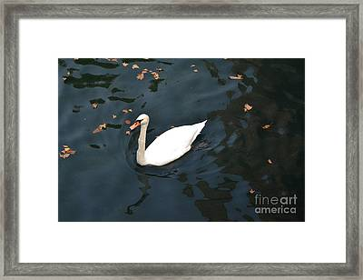 Swan In Autumn Framed Print