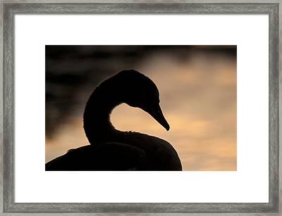 Swan In Sunset Framed Print by Michael Mogensen