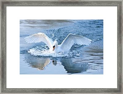 Swan Landing Framed Print by Andrew  Michael