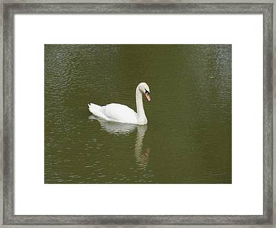 Swan Looking At Reflection Framed Print by Corinne Elizabeth Cowherd