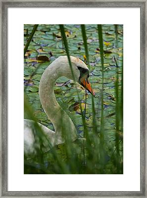 Swan Naturally Framed Print by Odd Jeppesen