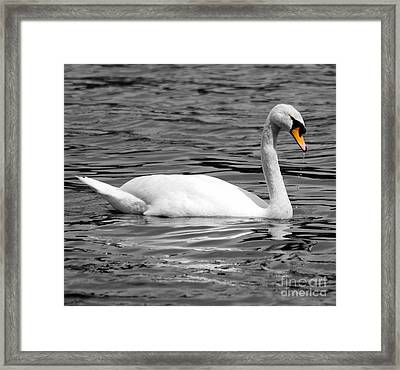 Swan On Loch Erne. Framed Print by Stephen McLean