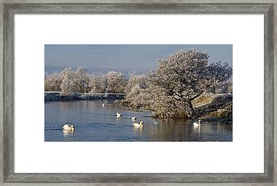 Swan Patrol Framed Print