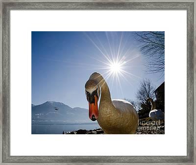 Swan Saying Hello Framed Print