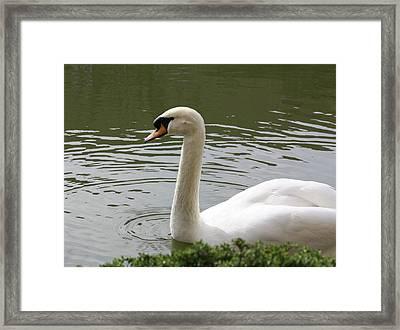 Swan Framed Print by Susan Alvaro