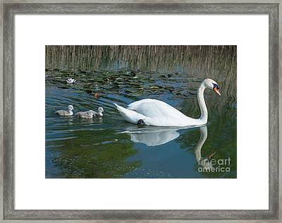 Swan With Cygnets Framed Print by Andrew  Michael