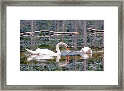 Swans At Lunch Framed Print by Bob Niederriter