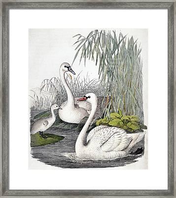 Swans, C1850 Framed Print by Granger