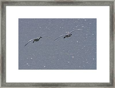 Swans Coming In For A Landing, Tagish Framed Print by Robert Postma