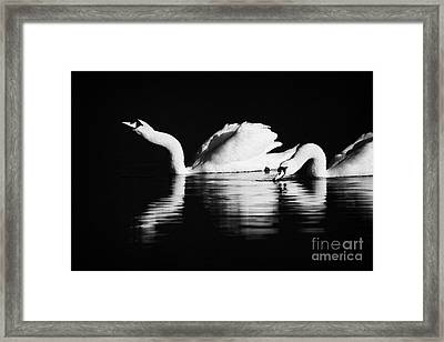 Swans Feeding And Drinking Framed Print by Joe Fox