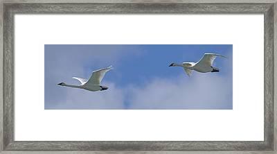 Swans Flying In Formation, Yukon Framed Print