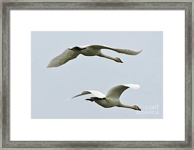 Swans Flying South Framed Print by Diane Folaron