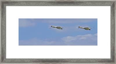 Swans In Flight, Yukon Framed Print