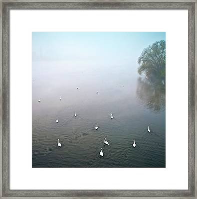 Swans In Log On River Neckar Framed Print by Ulrich Mueller