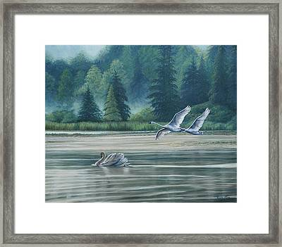 Swans On Carter Lake Framed Print by Ruth Gee